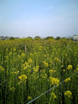 06多摩川菜の花