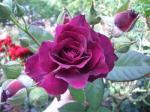 紫のバラって珍しくない?