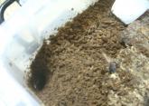ツシマ産卵セット