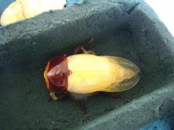 ツシマ5号♀羽化7