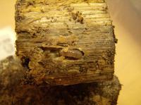 メンガタ幼虫産卵木