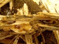 フォルモ産卵木