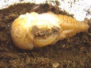 ML-1蛹