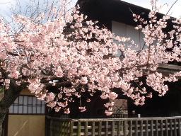 渉成園(しょうせいえん)桜1