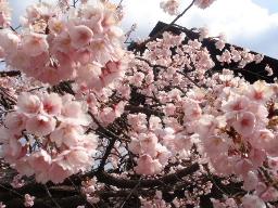 渉成園(しょうせいえん)桜アップ1