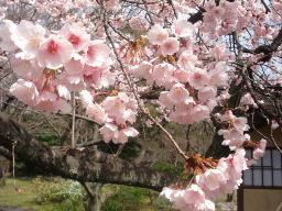 渉成園(しょうせいえん)桜アップ2