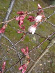 渉成園(しょうせいえん)しだれ桜つぼみ