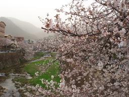 芦屋川の桜1