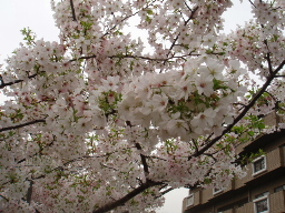芦屋川の桜2
