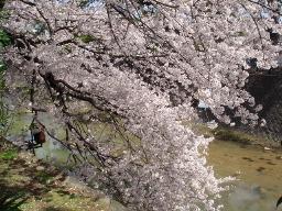夙川の桜1