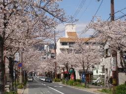 茶屋之町の桜並木