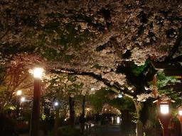 白川の夜桜2