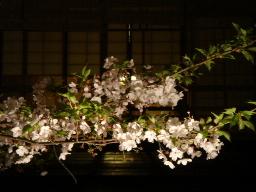 白川の夜桜3