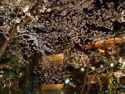 白川の夜桜4