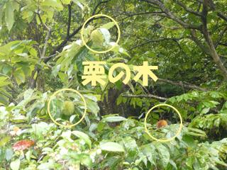 栗の木ブログ