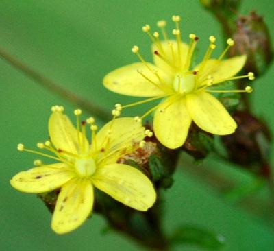 オトギリソウ 花