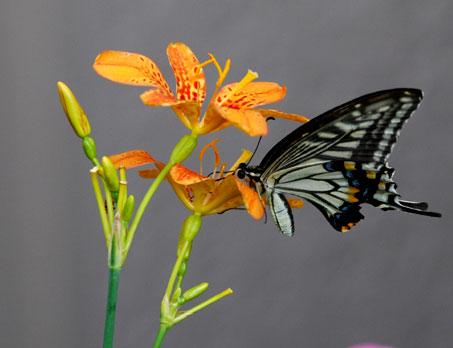 ヒオウギの花とアゲハ蝶