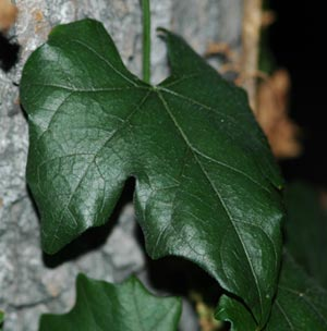 キカラスウリ 葉