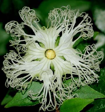 キカラスウリ 開花