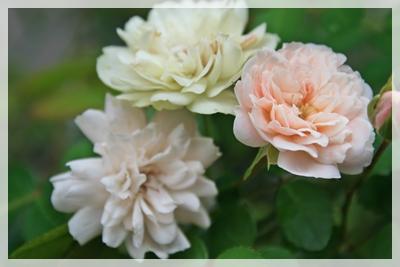 IMG_7624薔薇1