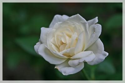 IMG_6525薔薇2
