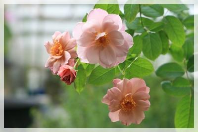 IMG_7093薔薇3