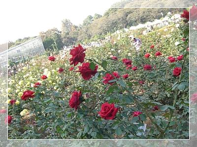 CIMG6131薔薇15