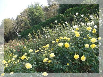 CIMG6143薔薇16