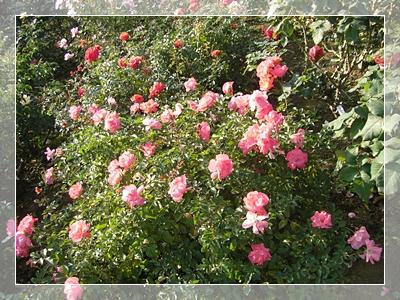 CIMG6196薔薇17