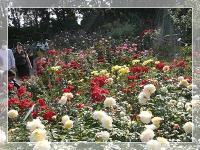 CIMG6117薔薇10
