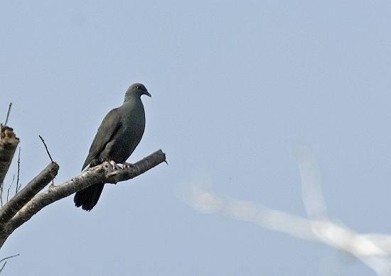 t-カラス鳩2
