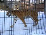 旭山動物園トラ