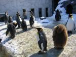 旭山動物園陸のペンギン