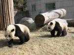 臥龍パンダ1