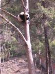木登りパンダ1