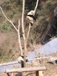 木登りパンダ2