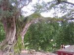 がじゅまろの樹