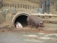 ドナドナ豚穴倉からの生還