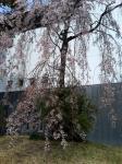公園からちょい離れたトコロにて、枝垂れ桜