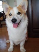 福岡のコーギー・ななちゃんを捜しています