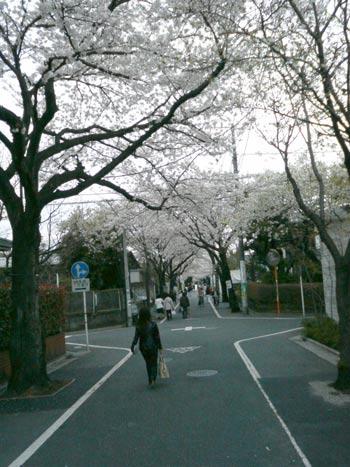 桜のトンネルが続きます