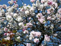 ピンク 薄ピンク 白の花