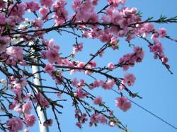 濃いピンクの花のところ