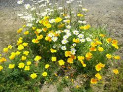 家の前の畑の花