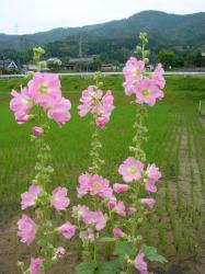 あおいの花