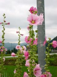 あおいの花11