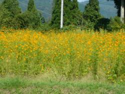黄色のコスモス畑