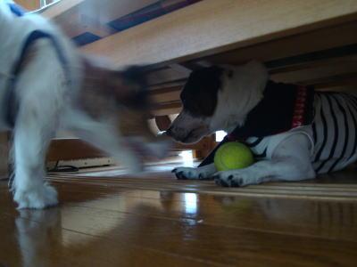 テニスボールを狙うmimi
