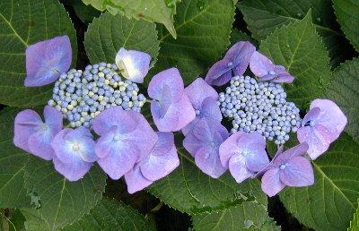 きれいな青のガク紫陽花