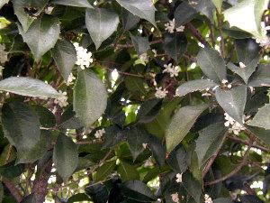 銀木犀は白い花